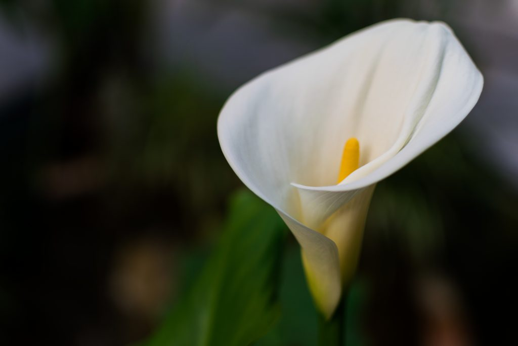 calla lilly flower for flower delivery services