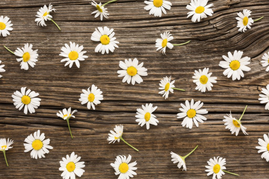 daisy flower for flower delivery