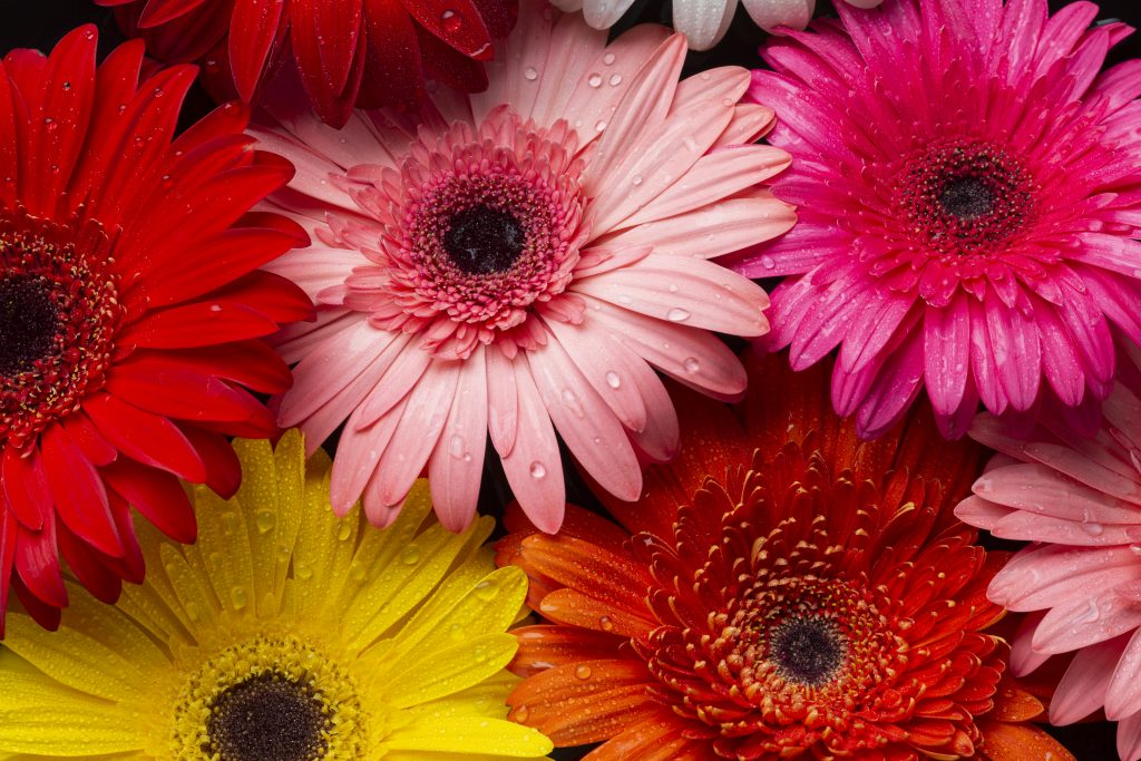 gerbera daisy for flower delivery services