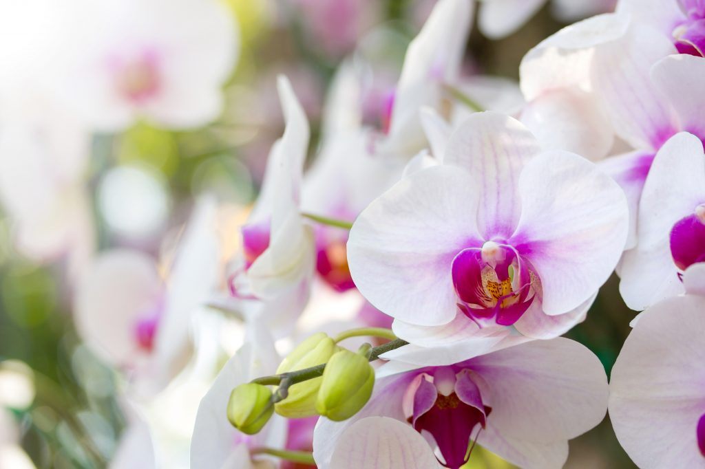 orchid flower for flower delivery