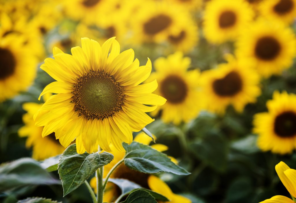 sunflower for flower delivery services